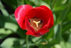 Röd tulpan som är öppen, makro, grön bakgrund Arkivfoton
