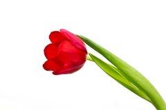 Röd tulpan som isoleras Arkivfoto