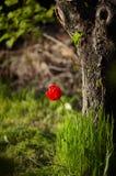 Röd tulpanblomma i grönt gräs nära stort träd fotografering för bildbyråer