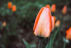 Röd tulpanblomma, knoppnärbild foto royaltyfri bild