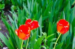 Röd tulpanblomma med grön blad- och gräsbakgrund arkivfoton