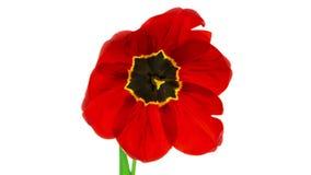 Röd tulpanblomma som blommar timelapse stock video