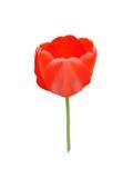 Röd tulpanblommaknopp på en vit bakgrund Royaltyfria Foton