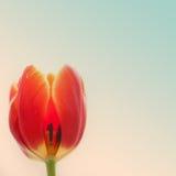 Röd tulpanblommanärbild, textur och ljus färg Royaltyfri Bild