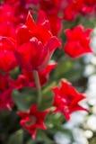 Röd tulpanknopp Royaltyfri Fotografi