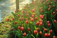 Röd tulpanträdgård i regnet Arkivbild