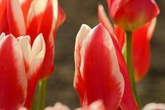 röd tulpanwhite Royaltyfria Bilder