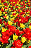 röd tulpanyellow Royaltyfri Fotografi