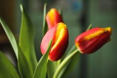 röd tulpanyellow fotografering för bildbyråer
