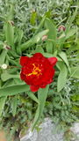 röd tulpanyellow blomma red Royaltyfri Fotografi