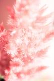 Röd tuppkamblomma för mjuk fokus som blommar, bakgrund (för Celosiacristataen) Royaltyfria Bilder