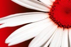 Röd tusensköna Arkivfoto
