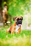 Röd tysk boxarehund Royaltyfri Bild