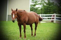 Röd ursnygg häst för full längd Arkivbild