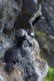 Röd-vänt mot urile sammanträde för kormoranPhalacrocorax i rede på klippan Arkivbild