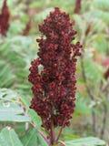Röd växt Royaltyfri Foto