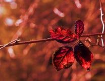 Röd växt Arkivbilder