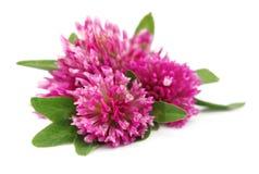 Röd växt av släkten Trifoliumblomma Arkivfoto
