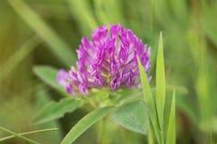 Röd växt av släktet Trifolium eller Trifolium Royaltyfri Fotografi