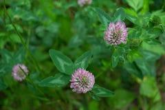 Röd växt av släktet Trifolium, eller röd växt av släktet Trifolium & x28; lat Trifoliumpraténse& x29; Royaltyfri Bild
