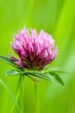 Röd växt av släktet Trifolium för växtstående Fotografering för Bildbyråer