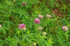 Röd växt av släktet Trifolium i lös natur Royaltyfria Foton