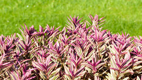 Röd växt för bakgrund med gräs Royaltyfri Foto