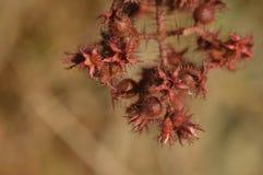 Röd växt för Exà ³muskelryckning arkivbild