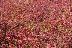 Röd växt i TROPISK TRÄDGÅRD för NONG NOOCH Royaltyfri Foto