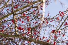 Röd växt i vinterbackgorunden arkivbilder
