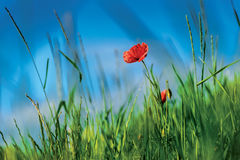Röd vallmo Royaltyfria Bilder