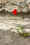 Röd vallmo Arkivfoto