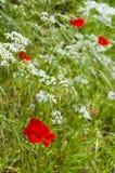 Röd vallmo av Tuscany Arkivfoton