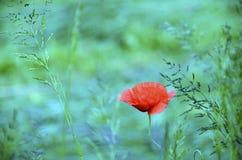 Röd vallmo i blått- och gräsplanfält Royaltyfri Bild