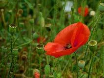 Röd vallmo i blom Arkivfoton