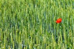 Röd vallmo i det gröna vetet Royaltyfri Fotografi