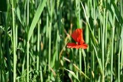 Röd vallmo i ett grönt fält Royaltyfria Bilder