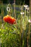 Röd vallmo i solen Royaltyfria Bilder