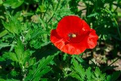 Röd vallmo i solen Arkivfoton