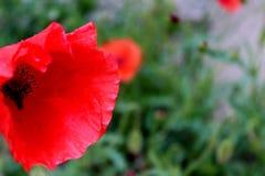 Röd vallmo i trädgården arkivbilder