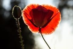 Röd vallmo och en knopp mot svartvit bakgrund Royaltyfri Foto