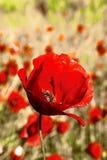 Röd vallmo på den gula våren meadow1 Royaltyfri Foto