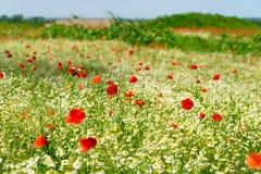 Röd vallmo på en äng med mycket vita tusenskönor eller kamomill och blåklint i guld- solljus, bakgrund för lös blomma för överflö fotografering för bildbyråer