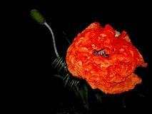 Röd vallmo på en svart bakgrund Arkivfoto
