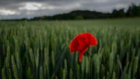 Röd vallmo på ett fält av korn Arkivbild