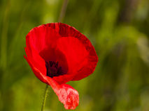 Röd vallmo på grönt fält i vår Arkivfoto