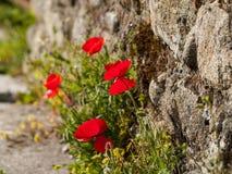 Röd vallmo på grönt fält i vår Royaltyfri Foto
