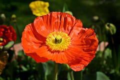 Röd vallmo värme av solen Royaltyfri Fotografi