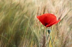 Röd vallmoblomma Royaltyfri Fotografi