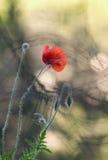 Röd vallmoblomma Arkivfoton